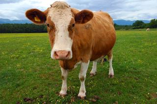 worksheet cow