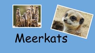 Meerkats Monday
